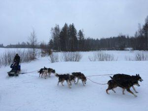 Husky valjakko talvi aktiviteetti tyky